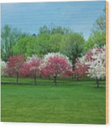 White And Pink Cherry Blossoms Wood Print