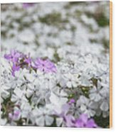 White And Pink Flowers At Botanic Garden In Blue Mountains Wood Print
