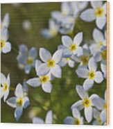 White And Yellow Blossoms Wood Print