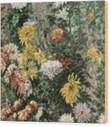 White And Yellow Chrysanthemums In The Garden At Petit Gennevilliers Wood Print