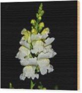 White And Yellow Snapdragon Wood Print