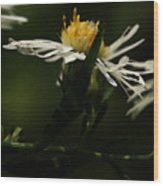 White Aster Wood Print