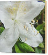 White Azalea Flower 9 Azaleas Raindrops Spring Art Prints Baslee Troutman Wood Print