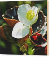White Begonia At Pilgrim Place In Claremont-california  Wood Print