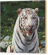 White Bengal Tiger  Wood Print by Garry Gay