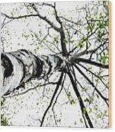 White Birch 2011-1a Wood Print