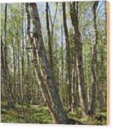 White Birch Forest Wood Print