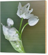 White Blossom 3 Wood Print