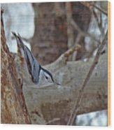 White Breasted Nuthatch - Sitta Carolinensis Wood Print