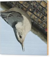 White Breasted Nuthatch At The Suet Feeder Wood Print