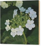 White Bridal Wreath Flowers Wood Print