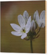 White Brodiaea Wood Print