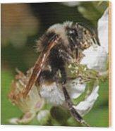 White Bumblebee Wood Print