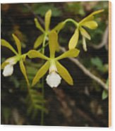 White Butterfly Orchid Wood Print
