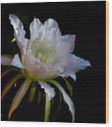 White Cactus Glory  Wood Print