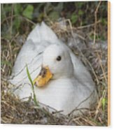 White Call Duck Sitting On Eggs In Her Nest Wood Print