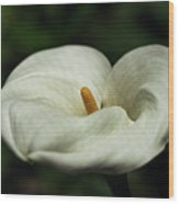 White Calla Lilly  Wood Print