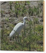 White Cattle Egret Wood Print