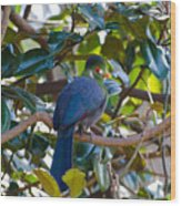 White-cheeked Turaco Wood Print