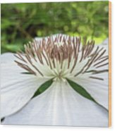 White Clematis Flower Garden 50146 Wood Print
