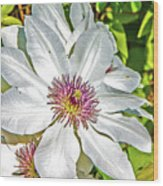 White Clematis Yellow And Purple Throat Wood Print