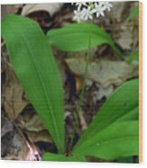 White Clintonia Wood Print
