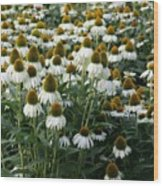 White Coneflower Field Wood Print