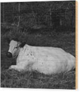 White Cow Luxuriates Wood Print