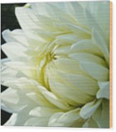 White Dahlia Flower Art Print Canvas Floral Dahlias Baslee Troutman Wood Print