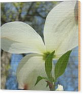 White Dogwood Flower Art Prints Blue Sky Baslee Troutman Wood Print