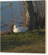 White Duck Resting Wood Print