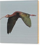White Faced Ibis Flyby Wood Print