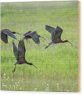 White-faced Ibis Rising, No. 2 Wood Print