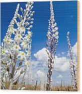 White Flowering Sea Squill On A Blue Sky Wood Print