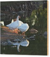 White Geese In A Park With Water Reflection Wood Print