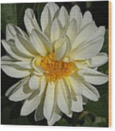 White Gerbera Wood Print