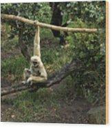 White Handed Gibbon 2 Wood Print