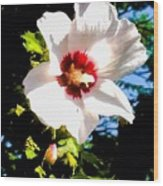 White Hibiscus High Above In Shadows Wood Print