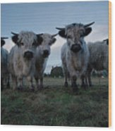 White High Park Cow Herd Wood Print