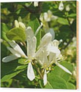 White Honeysuckle Blossoms Wood Print