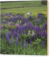 White Horse In A Lupine Field Wood Print