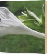 White Hosta Flower 46 Wood Print