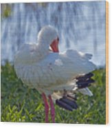 White Ibis Dries Off Wood Print