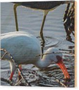 White Ibis Eating Wood Print