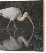 White Ibis Feeding In Morning Light Wood Print