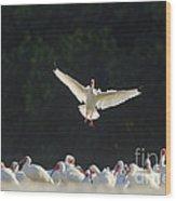 White Ibis In Flight Over Flock Wood Print