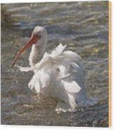 White Ibis In Florida Wood Print