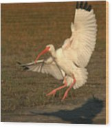 White Ibis Landing Upon Ground Wood Print