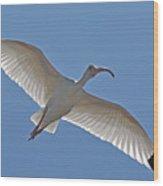 White Ibis Soaring Wood Print