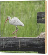 White Ibis Stepping Out Wood Print